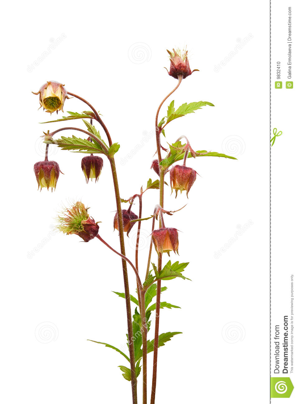 Water Avens (Geum Rivale) Stock Photo.