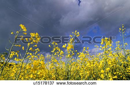 Picture of gewitterstimmung, agriculture, austria, calf, canola.