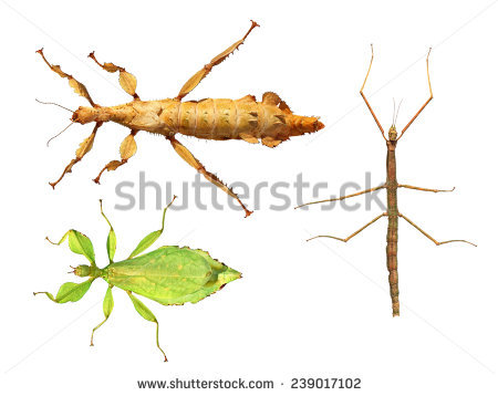 Walking Stick Insect Stock Photos, Royalty.