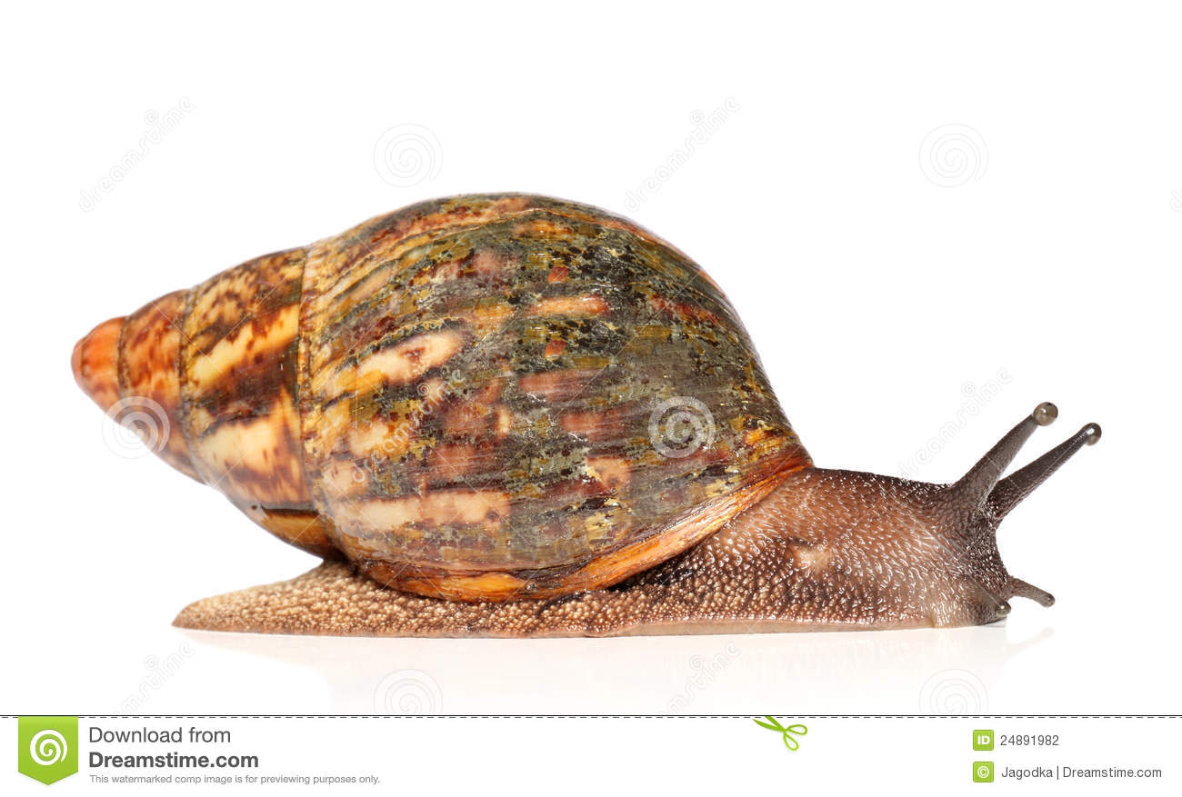 Giant African Land Snail, Achatina Fulica, 5 Royalty Free Stock.