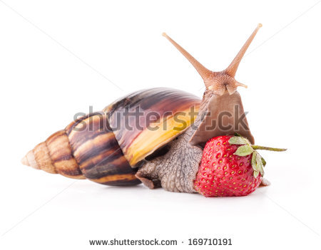 Giant African Land Snail Achatina Fulica Stock Photo 104275007.