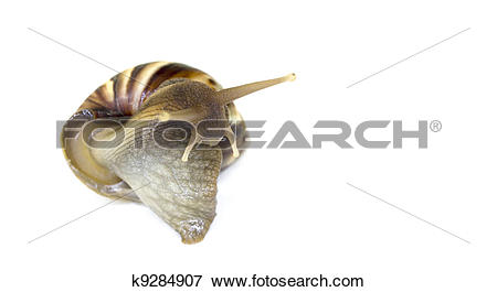Picture of Giant African Land Snail k9284907.