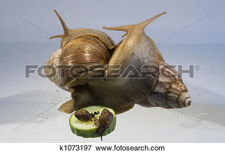 Picture of Giant African Land Snails k1073197.