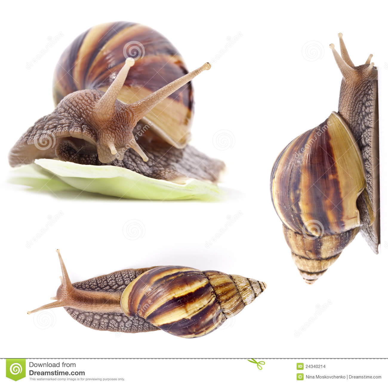 Giant African Land Snail Stock Images.