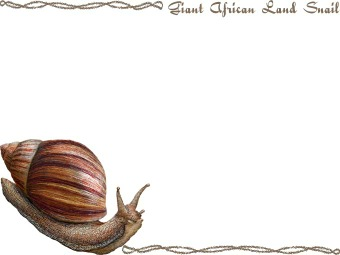 Giant African Land Snail, East African Land Snail, Achatina Fulica.