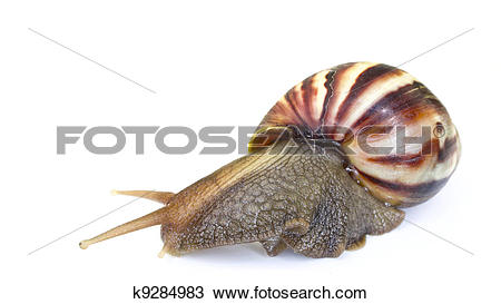 Stock Photo of Giant African Land Snai k9284983.
