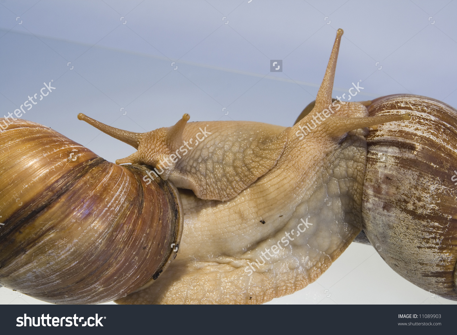 Giant African Land Snails Close Shots Stock Photo 11089903.