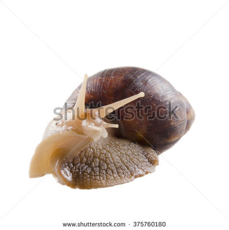 Giant African Land Snail Isolated On Stock Photo 99257507.