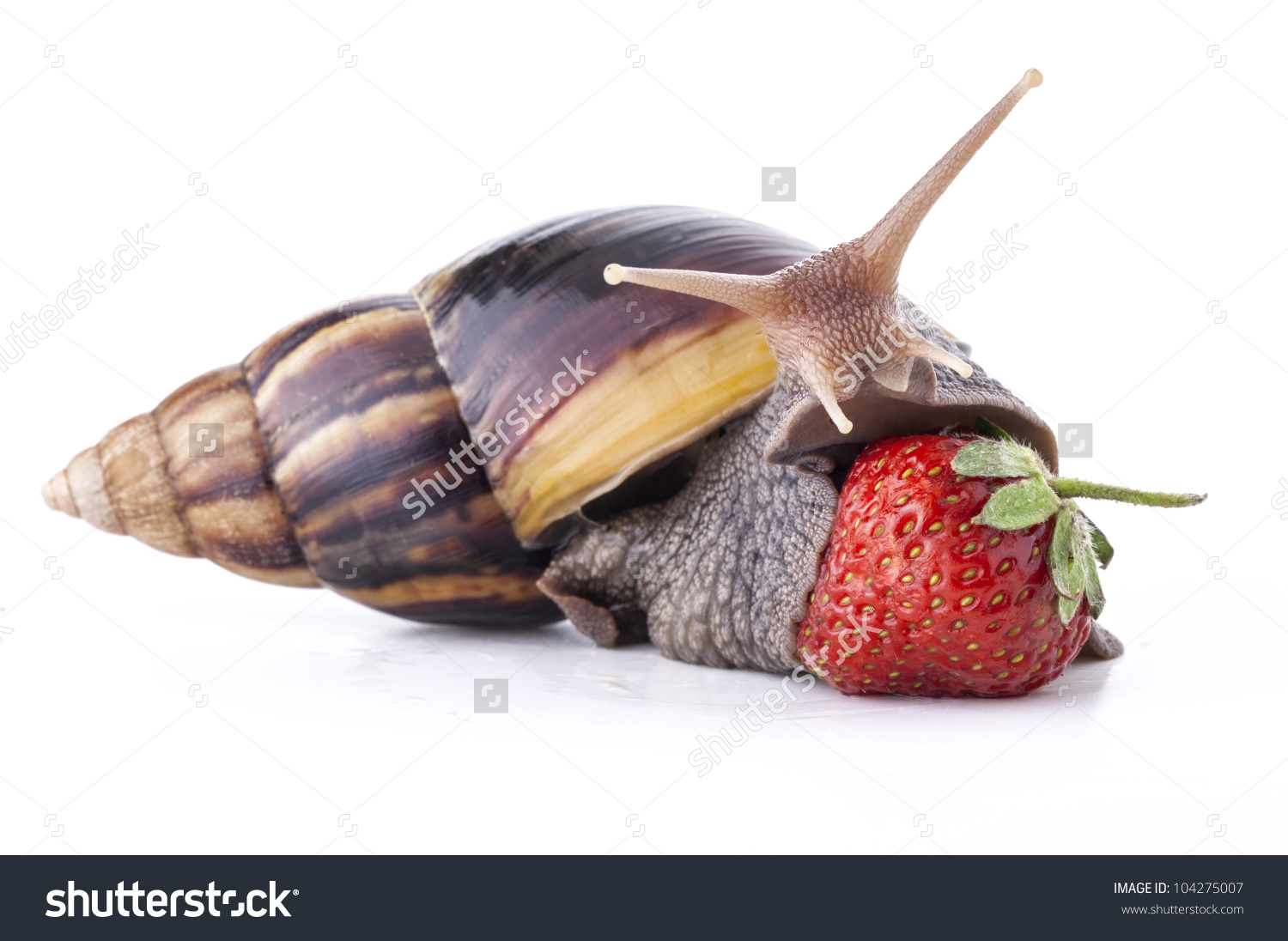 Giant african land snail clipart.