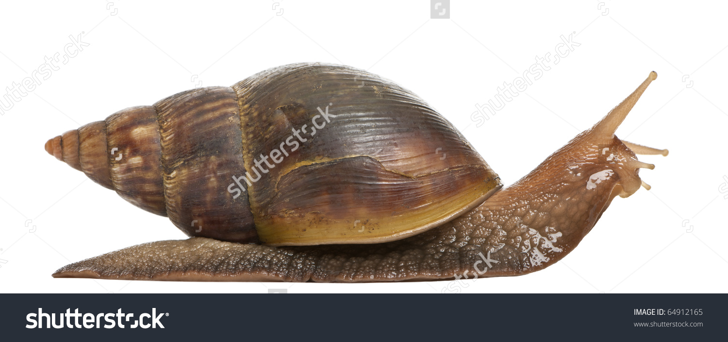Giant African Land Snail Achatina Fulica Stock Photo 64912165.