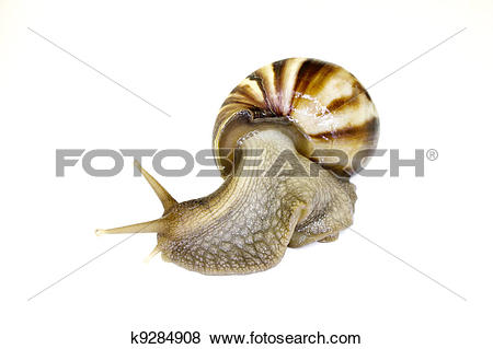 Pictures of Giant African Land Snail k9284908.