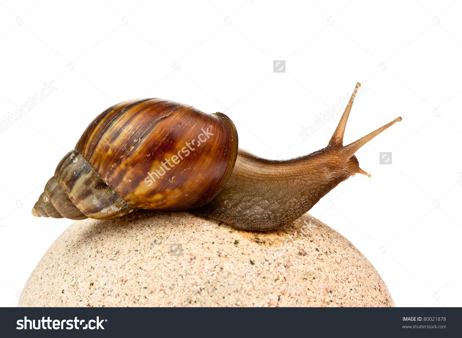 Achatina Fulica Giant African Land Snail Stock Photo 80021878.