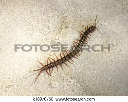 Stock Photography of Giant centipede k18970760.