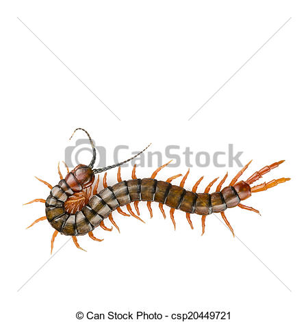 Stock Photo of Centipede Isolated.