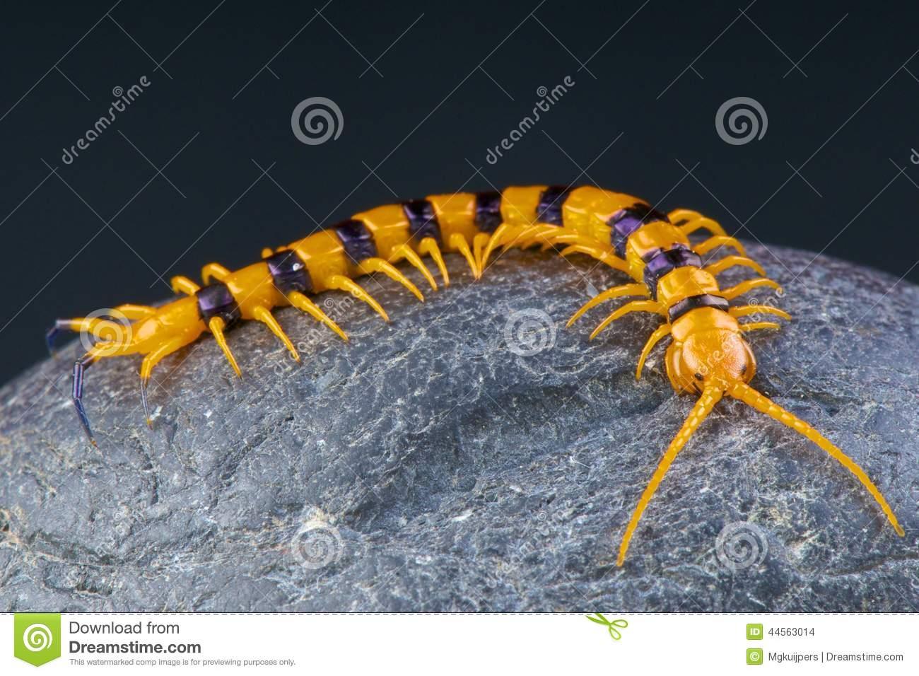 Giant Centipede / Scolopendra Hardwickei Stock Photo.