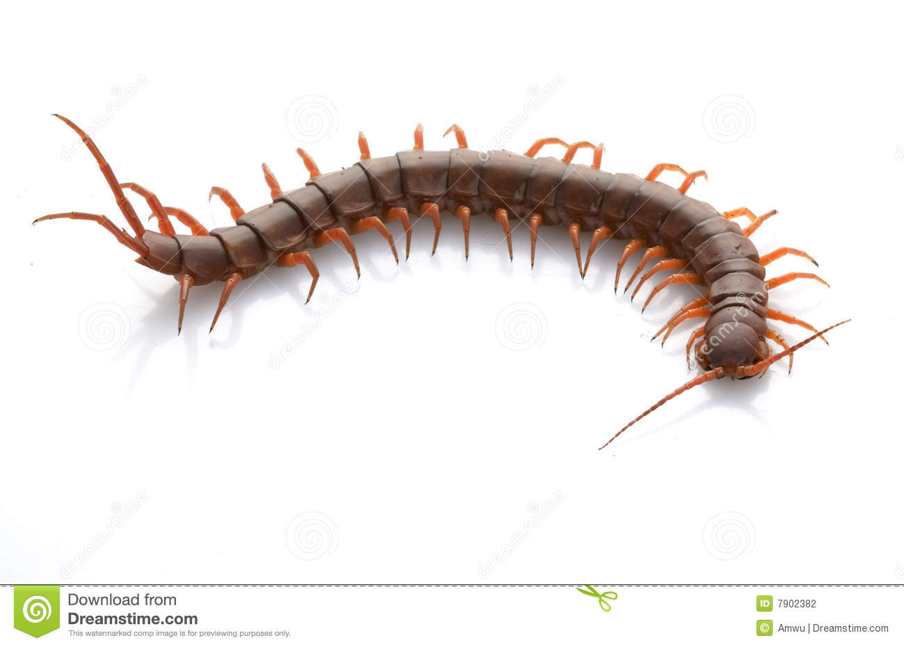 Vietnamese Giant Centipede Stock Photography.
