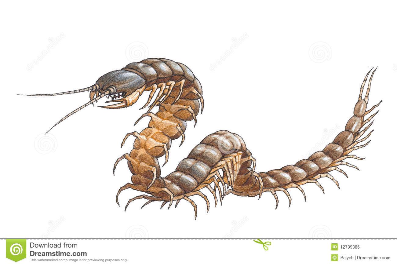 Scolopendra (Amazonian Giant Centipede) Royalty Free Stock Image.