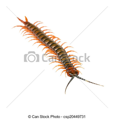 Stock Photos of Centipede Isolated.
