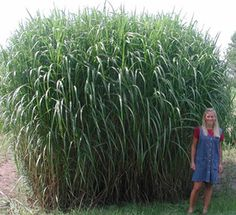 Giant Miscanthus.