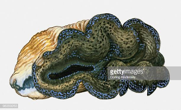 11 Giant Clam Stock Illustrations, Clip art, Cartoons & Icons.