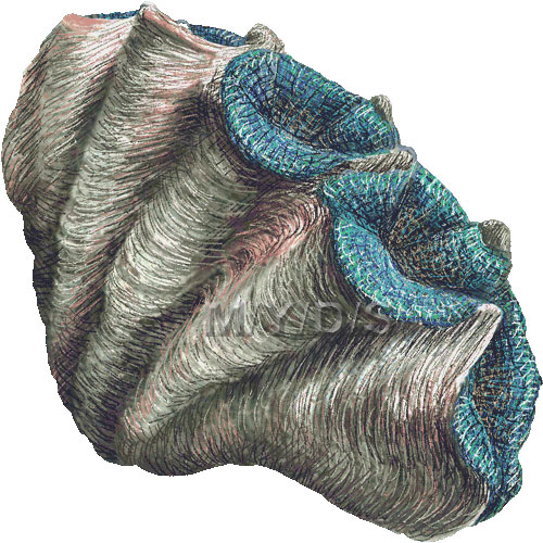 Giant Clam, Tridacninae clipart graphics.