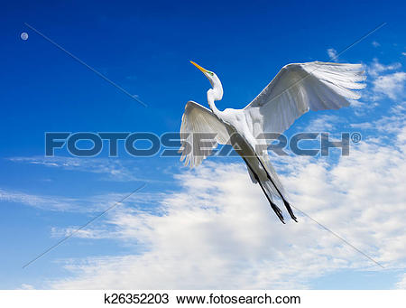 Stock Photo of Giant Egret in Flight k26352203.