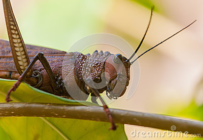 Giant Grasshopper Stock Photo.