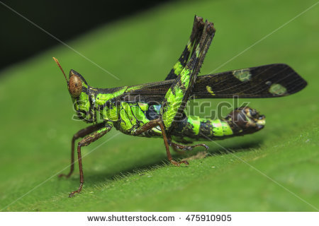 Giant Grasshopper Stock Photos, Royalty.