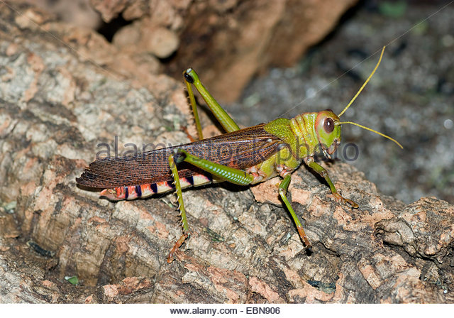 Giant South American Grasshopper Stock Photos & Giant South.