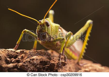Clipart of Giant Grasshopper.