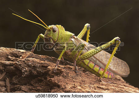 Stock Illustrations of Giant grasshopper, close up. u59818950.