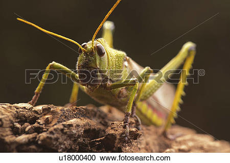 Stock Illustrations of Giant grasshopper, close up. u18000400.