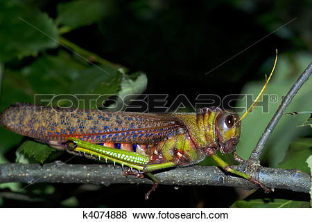 Pictures of Giant grasshopper (Tropidacris collaris) k4074888.
