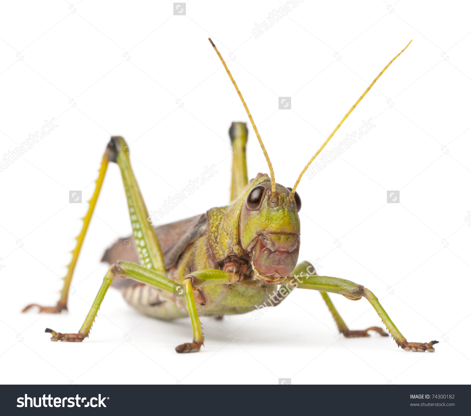 Giant Grasshopper Tropidacris Collaris Front White Stock Photo.