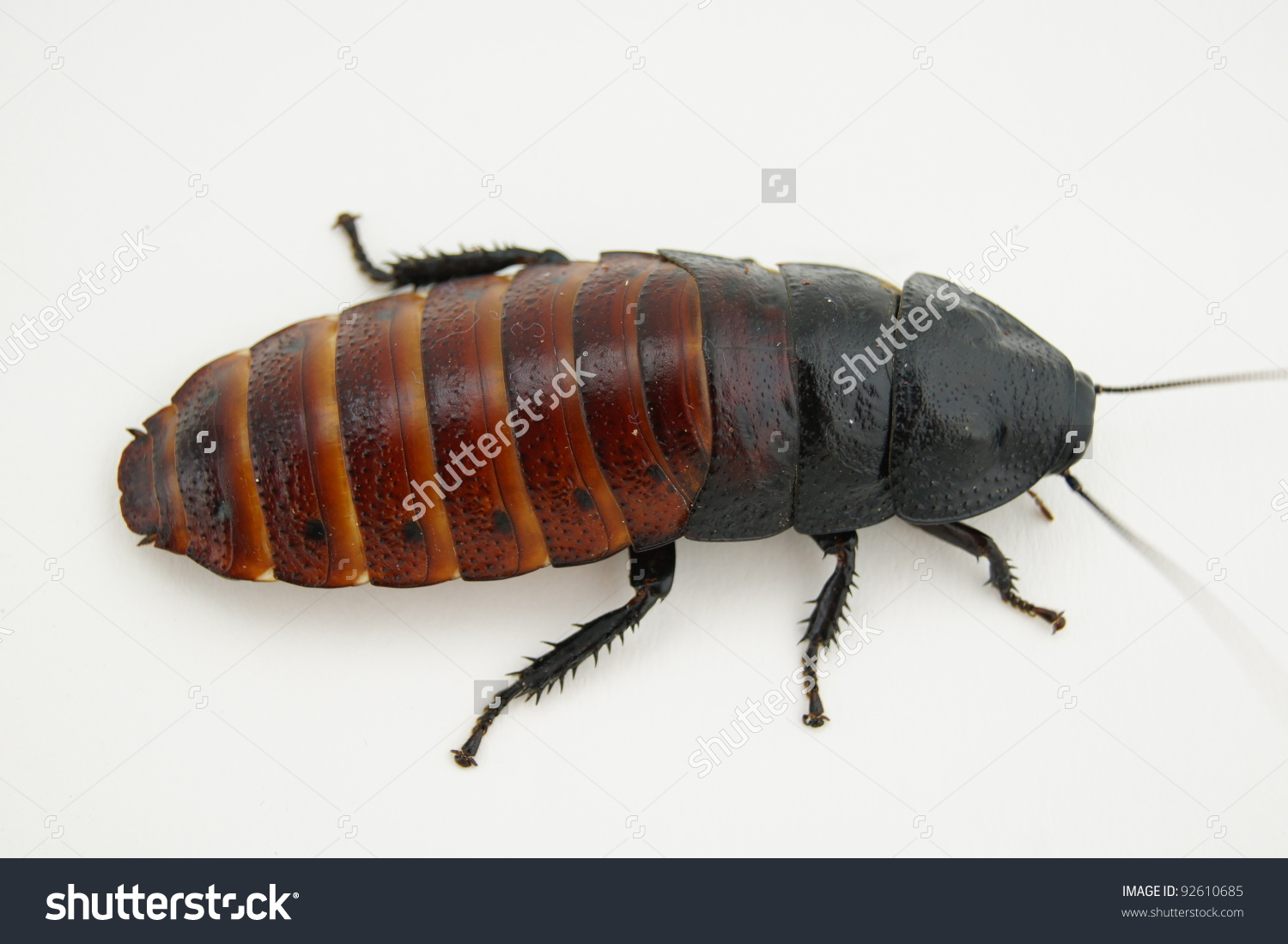 Madagascar Hissing Cockroach Stock Photo 92610685.