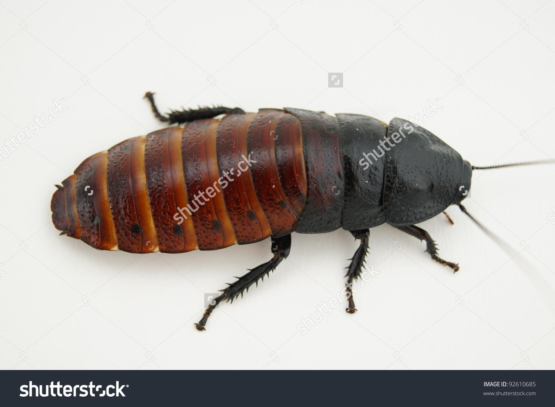 Madagascar Hissing Cockroach Stock Photo 92610685.