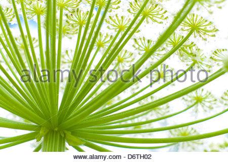 Giant Hogweed Stock Photos & Giant Hogweed Stock Images.