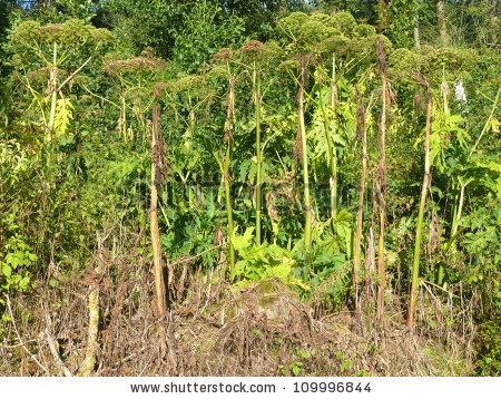 Giant Hogweed Stock Photos, Royalty.