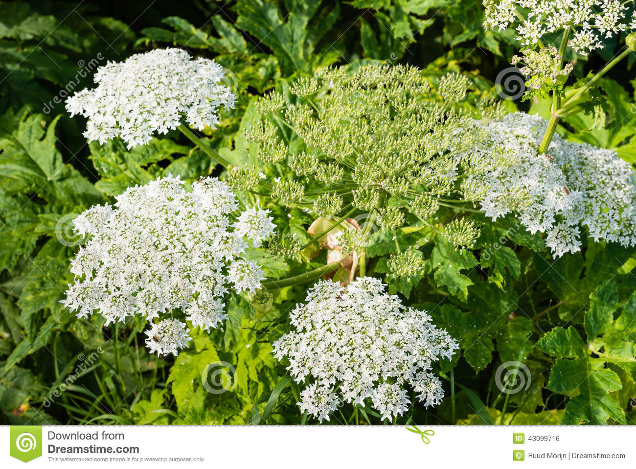 Flowering Giant Hogweed From Close Stock Photo.