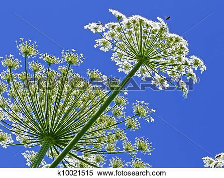 Stock Image of Giant Hogweed, in Latin: heracleum sphondylium.