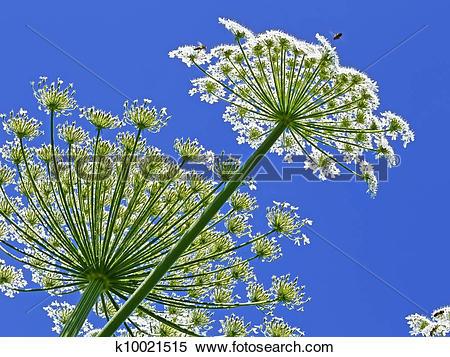 Stock Image of Giant Hogweed, in Latin: heracleum sphondylium.