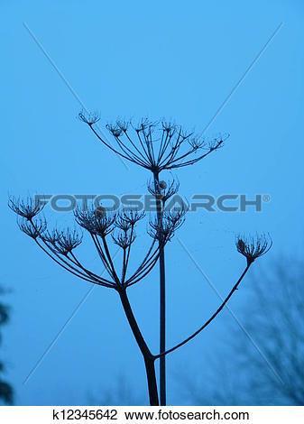 Stock Photo of Giant Hogweed Seed Heads k12345642.