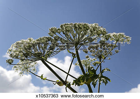 Stock Photo of Giant hogweed, umbels against blue sky x10537363.