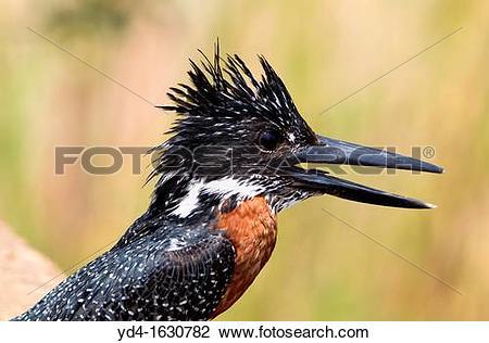 Stock Photo of Giant Kingfisher Megaceryle maxima, Kruger National.