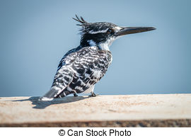 Pictures of Giant kingfisher sitting on bridge in early morning.