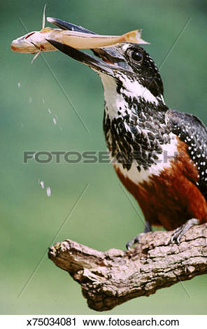 Stock Photography of giant kingfisher ceryle maxima with fish lake.