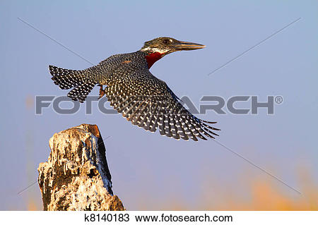 Stock Photo of Giant Kingfisher k8140183.