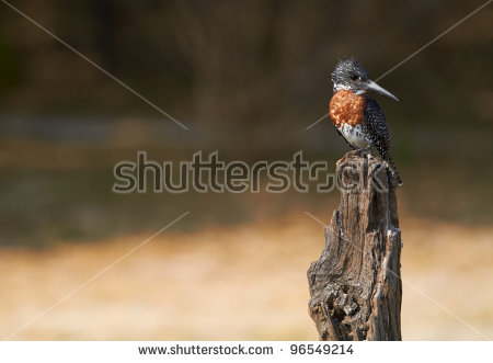 Giant Kingfisher Stock Photos, Royalty.