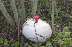 Giant Puffball Mushrooms Stock Image.