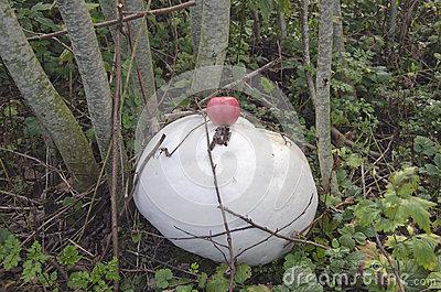 Giant Puffball Mushrooms Stock Image.